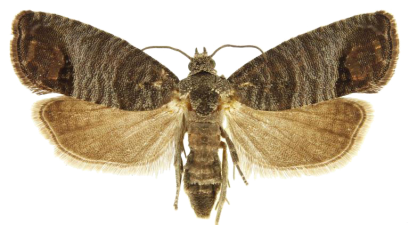Picture Coding Moth