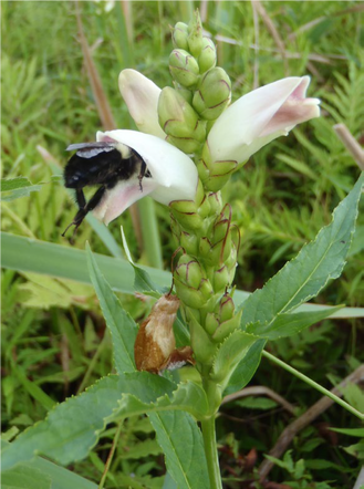 Figure 2. Turtlehead inflorescence with two open flowers being visited by a bumblebee. Image taken from Richardson et al. 2016.Picture