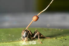 Fig 1. A zombie carpenter ant which was killed by a parasitic fungus. Image via David P. Hughes, Penn State University.