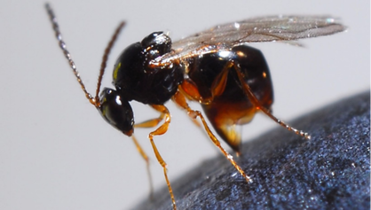 Picture Fig. 3. Ganaspis brasiliensis, one specialized larval SWD parasitoid (Photo by Kent Daane)
