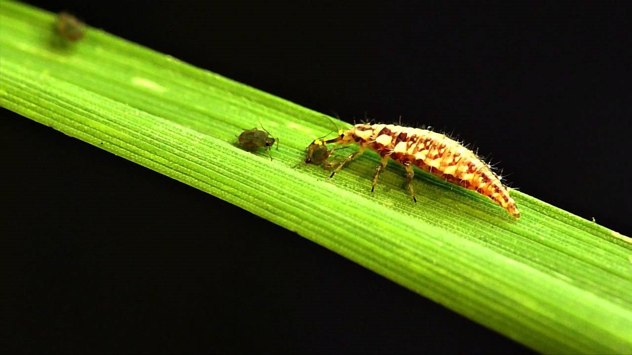Figure 1: A green lacewing larvae is preying on aphids.