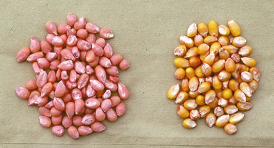 Figure 1. NST treated corn seed (left) and untreated corn seed (right) (Leonard and Willrich).