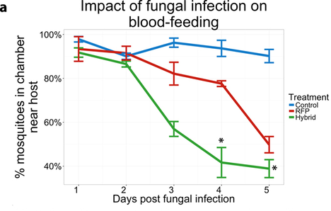 Fig 2. Impact of fungal infection on blood-feeding. Hybrid fungus can significantly reduce the blood feeding interest of mosquito as soon as the neurotoxin was expressed(day3).Picture