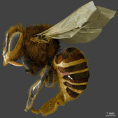 varroa mite on bee abdomin